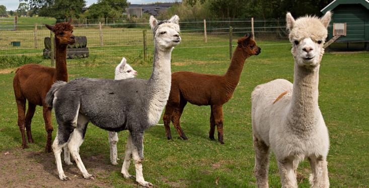 Kom onze alpaca's voeren!