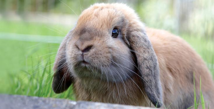 Let op: besmettelijk konijnenvirus