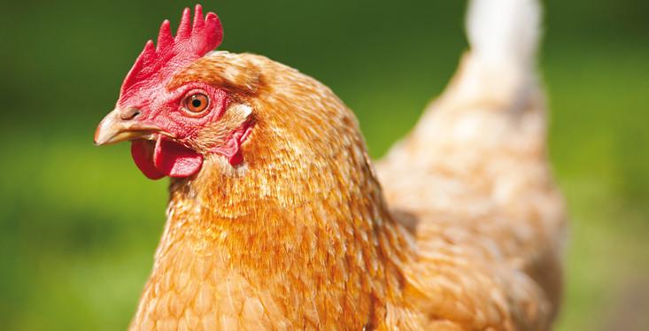 Alles over het houden van kippen