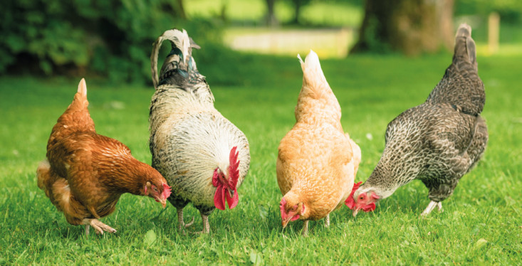 13 april: Workshop kippen houden