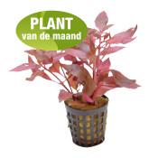 aquariumplant-alternanthera-cardinalis-plantvdmnd.jpg